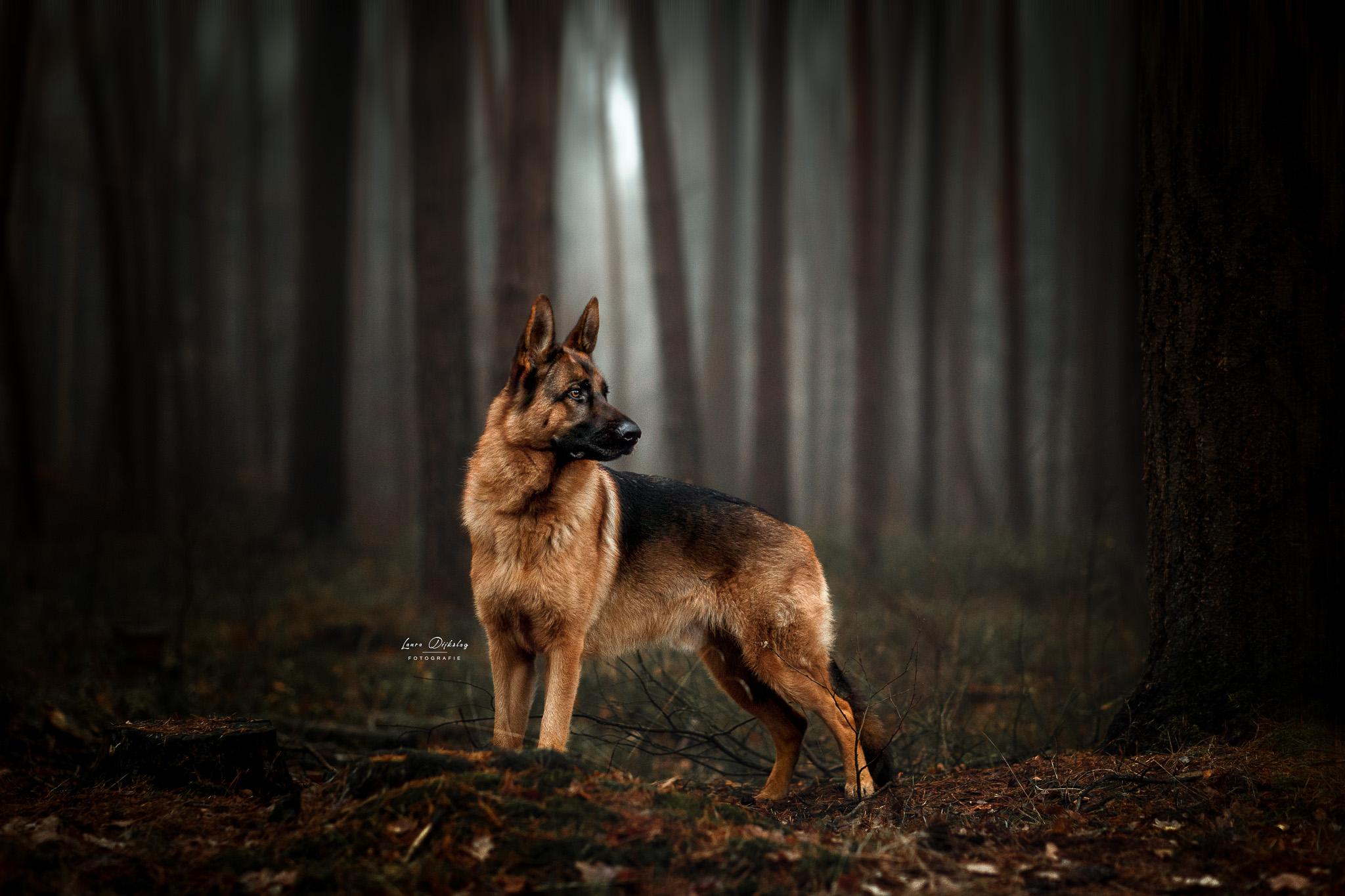 lauradijkslagfotografie duitse herder hondenfotograaf heerde