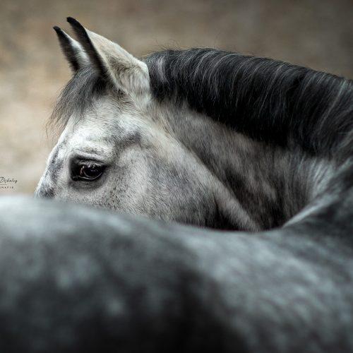 paardenfotografie lauradijkslagfotografie heerde paardenoog
